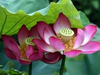Lotusblüte, Japan