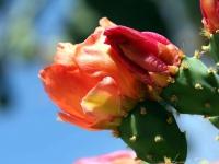 Kaktusblüte, Hvar