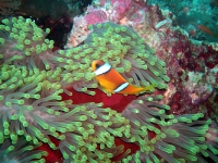 Nemo, Rotes Meer