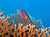 Korallenwächter, Rotes Meer