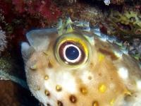 Igelfisch, Rotes Meer
